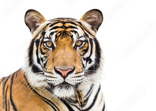 Foto op Canvas Tijger Young tiger isolated on white background