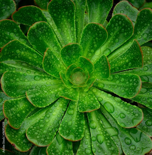 Rosette of aeonium with raindrops