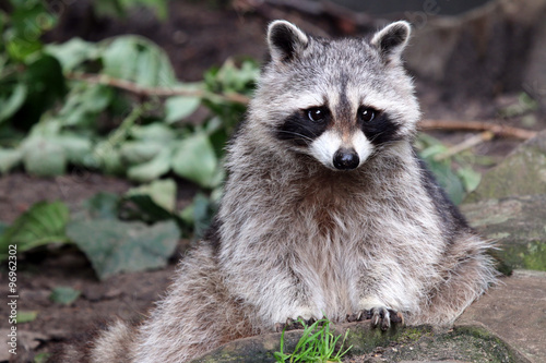 raccoon Canvas-taulu
