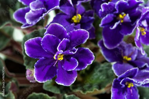 Slika na platnu African Violet (Saintpaulia)