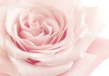 Light Pink Rose Flower High Ke...