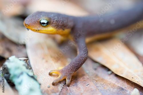 Fotografie, Obraz  Rough-skinned Newt (Taricha granulosa) crawling on leaves