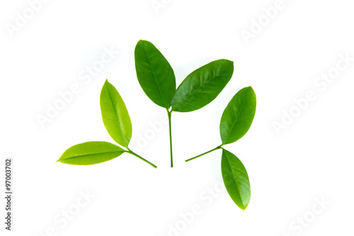 Fototapety, obrazy: Green leaves on white background