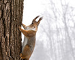 red squirrel sitting on the tree on snowfall