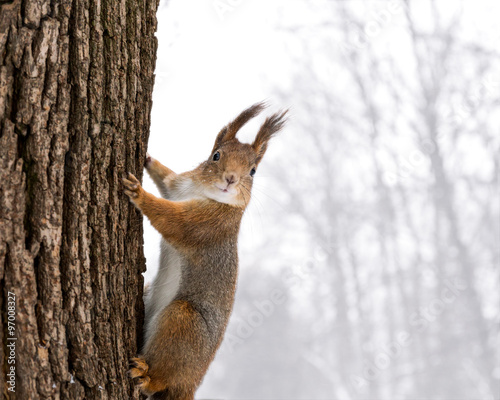 Fotomural  red squirrel sitting on the tree on snowfall