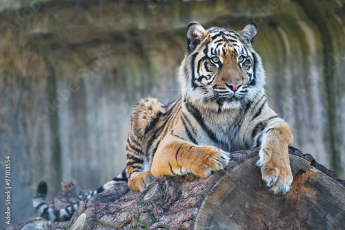 Photo  female Sumatran tiger, Panthera tigris sumatrae