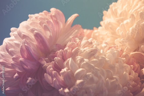 Принти на полотні gentle flower of chrysanthemum
