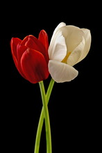 Tulips On Black Background. Red And White Flowers.
