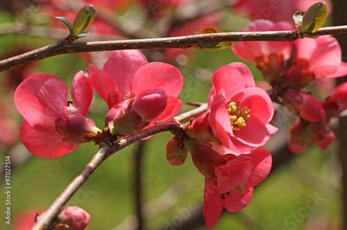 Fotografía Fleurs de cognassier du Japon
