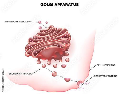 Photo Golgi apparatus