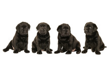 Litter Of Four Cute Sitting Bl...