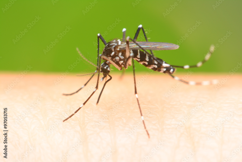 Fototapeta Mosquito on a human hand sucking blood