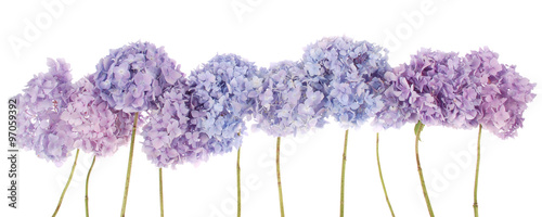 Stickers pour porte Hortensia Purple flowers hydrangea (Clipping path)