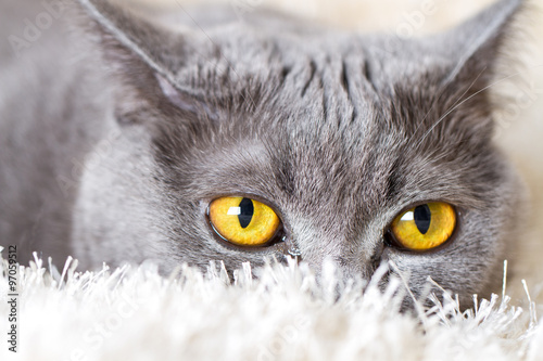 Photo gray British cat hiding in the carpet