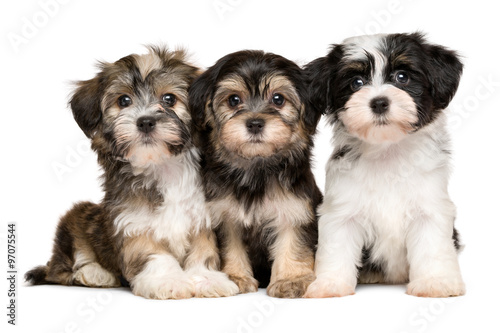 Canvas Print Three cute havanese puppies are sitting next to each other