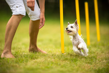 Cute Little Dog Doing Agility Drill - Running Slalom, Being Obed