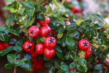 Red Berries (cotoneaster Horizontalis) In The Garden