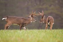 Two White-tailed Deer Bucks Grooming