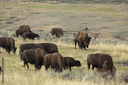 Fotobehang Natuur Park Herd of bison grazing in Lamar Valley, Yellowstone Park, Wyoming.