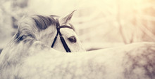 Portrait Of A Gray Sports Hors...