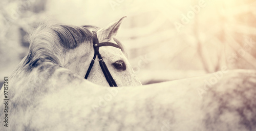 Fototapeta Portrait of a gray sports horse in the winter obraz