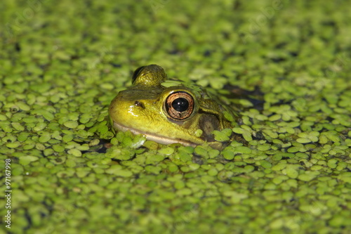 Tuinposter Kikker Green Frog (Rana clamitans)