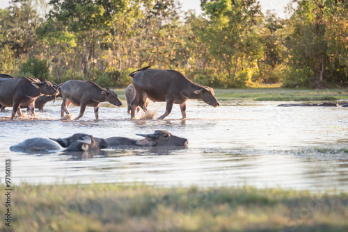 buffalo fording a river in thailand