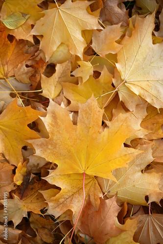 Blanket of fallen maple leaves Wallpaper Mural
