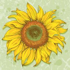 FototapetaHand drawn sunflower head isolated on textured background