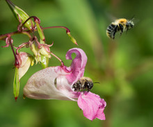 Common Carder Bumblebees (Bombus Pascuorum) On Indian Balsam (Impatiens Glandulifera)