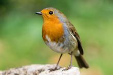 Robin (Erithacus Rubecula) Fil...