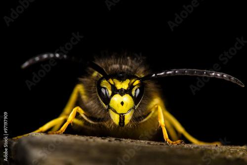 Fényképezés Common wasp (Vespula vulgaris) against a black background