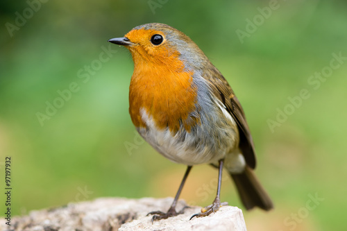 Robin (Erithacus rubecula) filling the frame in profile with particularly striki Poster