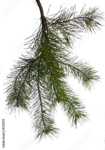 Valokuva  Pine branches.