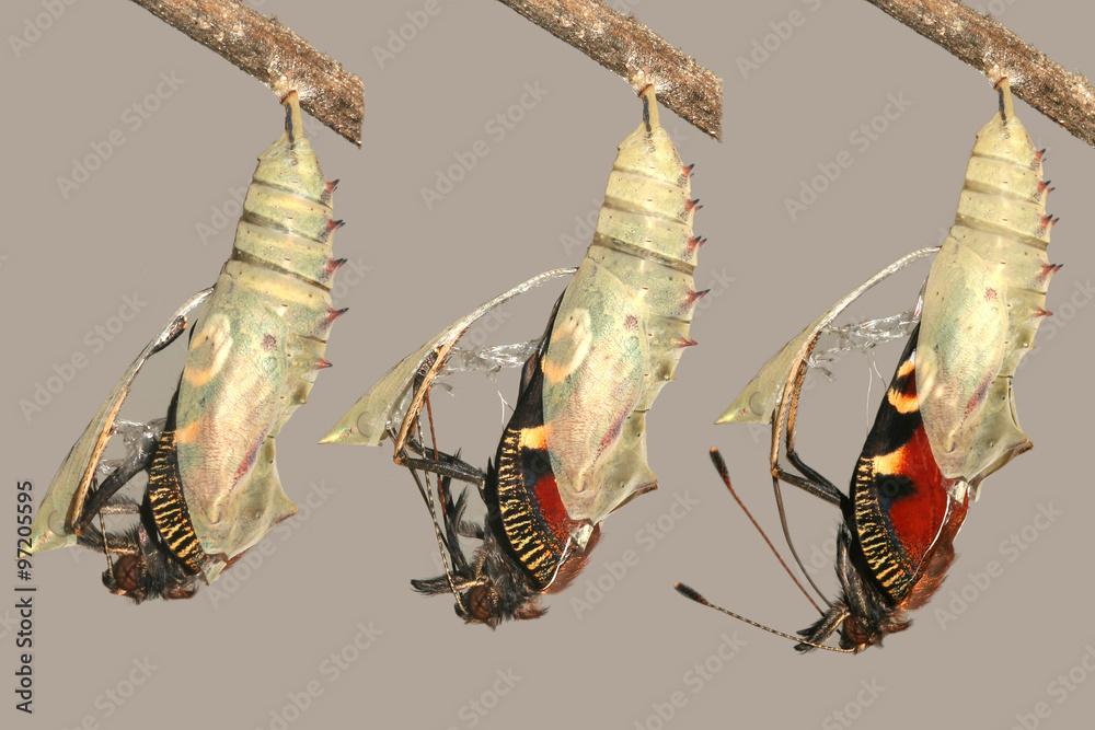 Schwellen- und Metamorphose der schönen Pfau Schmetterling Foto ...