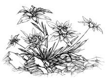 Edelweiss Etch