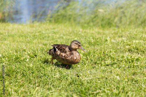 Fotografie, Obraz  duck walking on green summer meadow