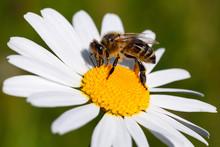 Honey Bee Closeup On A Flower