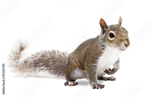 Photo sur Toile Squirrel Young squirrel seeds on a white background