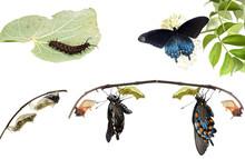 Metamorphosis Of Butterflies   Pipevine Swallowtail (Battus Phil