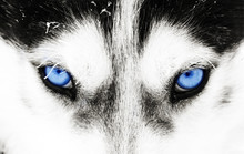 Close-up Shot Of A Husky Dog's...