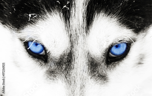 Tuinposter Wolf Close-up shot of a husky dog's blue eyes