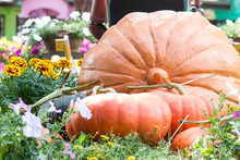 Pumpkin In Vegetable Garden Farm.