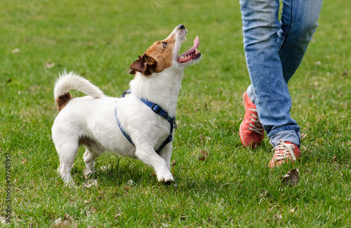 Poster Chien Obedient dog doing walking exercise with owner