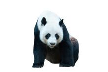 Giant Panda Bear Isolated On White