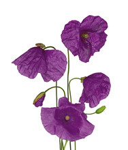 Bunch Of Wild Purple Poppy Flowers On White