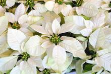 Poinsettia Enduring White