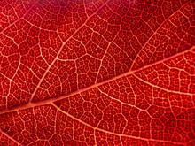Backlit Illuminated Leaf Macro