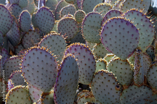 Poster Cactus Sunlit Prickly Pear Cactus in the Sonoran Desert