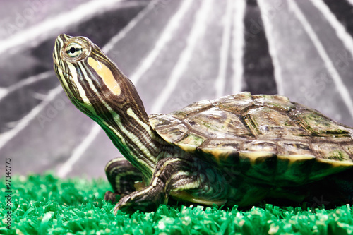 Poster Tortue Small red-ear turtle in terrarium